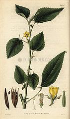 Jew's mallow  Corchorus olitorius.