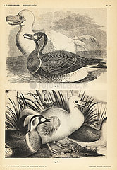 White dodo and duck by Pieter Withoos.