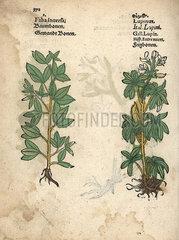 Stonecrop  Sedum telephium  and lupin  Lupinus albus.