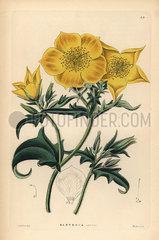 Golden bartonia  Bartonia aurea.