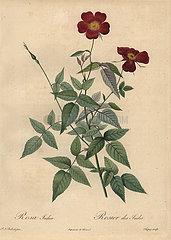 Crimson China rose  Rosa chinensis.