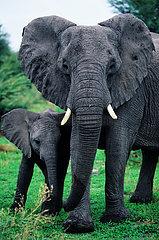 BOTSWANA - OKAVANGO - A MOTHER ELEPHANT WITH HIS BABY