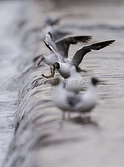 CHINA-QINGHAI-BLANKER CARP-migrations LAICHEN (CN)
