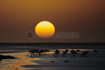 NAMIBIA  NAMIB DESERT  WALVIS BAY  FLAMINGOES