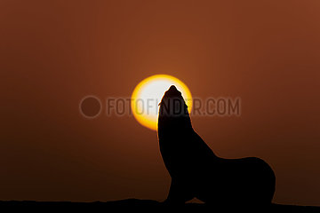 NAMIBIA  NAMIB DESERT  WALVIS BAY  FUR SEAL