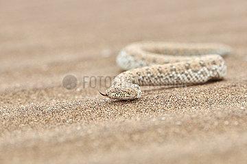 NAMIBIA  NAMIB DESERT  SWAKOPMUND  PERINGUEY ADDER