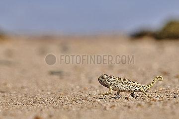 NAMIBIA  NAMIB DESERT  SWAKOPMUND  NAMAQUA CHAMELEON