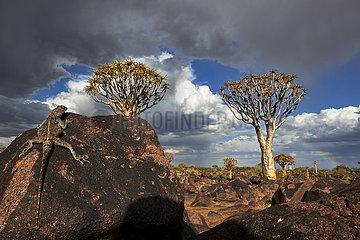 NAMIBIA  NAMIB DESERT  QUIVERTREE  GROUND AGAMA
