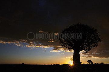 NAMIBIA  NAMIB DESERT  QUIVERTREE
