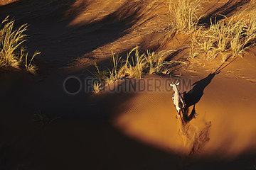 NAMIBIA  NAMIB DESERT  SOSSUSVLEI DUNE  ORYX