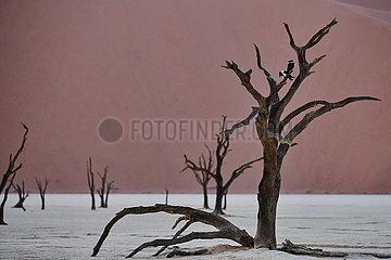 NAMIBIA  NAMIB DESERT  SOSSUSVLEI DUNES  DEATH VLEI  PIED CROW