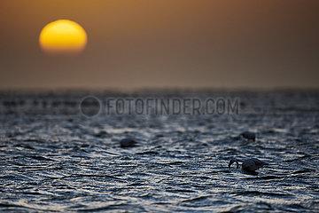 NAMIBIA  NAMIB DESERT  SEAFRONT  WALVIS BAY  GREATER FLAMINGOES