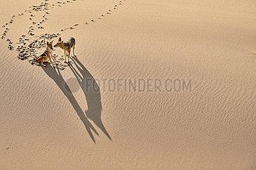 NAMIBIA  NAMIB DESERT  BLACK-BACKED JACKAL