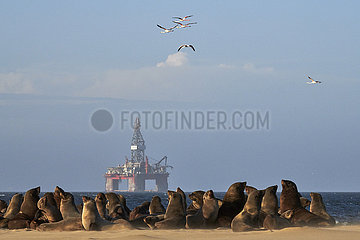 NAMIBIA  NAMIB DESERT  FUR SEAL