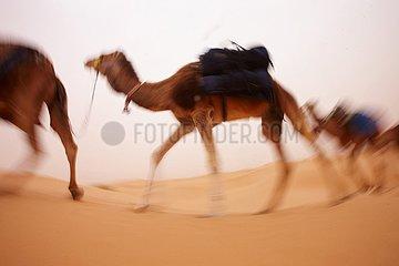 Kamel Trekking