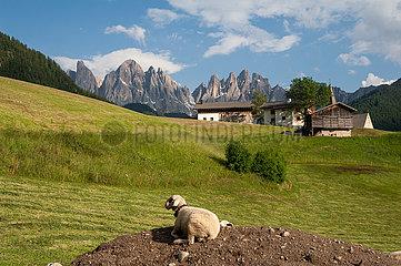 St. Magdalena  Villnoess  Trentino  Suedtirol  Schaf im Naturpark Villnoesstal mit Bergen der Puez Geislergruppe