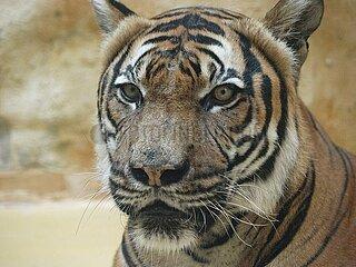 Malaysia-Tiger