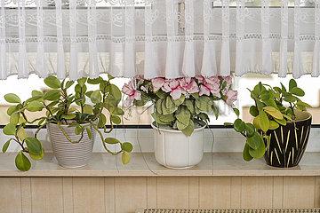 Topfpflanzen auf Fensterbank  Gardine  1970er-1990er Jahre