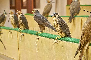 Falknerei in Katar