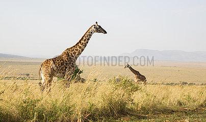 Giraffa camelopardalis reticulata  Giraffe