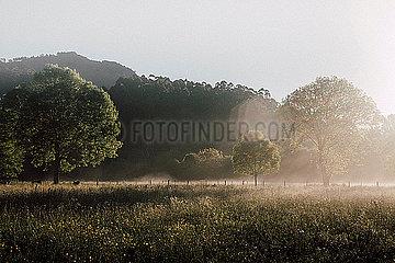 Wiese im Nebel bei Sonnenschein mit Kuhherde in der Ferne