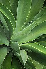 Aloe Plant Detail