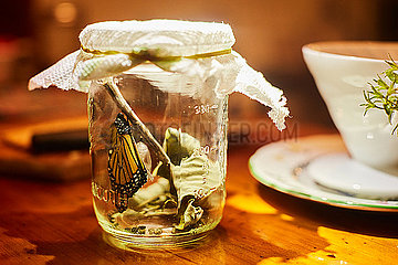 Monarch butterfly in jar