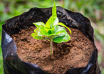 A newly sprouted coffee plant grows in a plastic bag