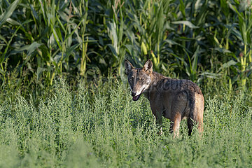 Deutscher Wolf in freier Natur - A young grey wolf (Canis lupus) walking trough the village Goldenstedt in Lower Saxonia in Germany