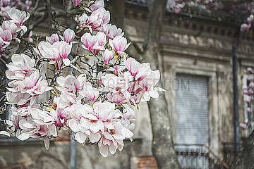 Magnolia blossoms in front of an old house