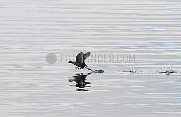 Germany  Bavaria  Chiemsee  coot landing in water