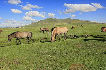 Pferde beim grasen in der Mongolei