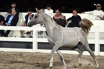 KUWAIT-MUBARAK AL-Kabeer GOVERNORATE-ARABISCHE PFERDE-AUKTION KUWAIT-MUBARAK AL-Kabeer GOVERNORATE-arabische Pferde-Auktion