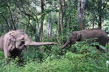 (FOCUS) CHINA-YUNNAN-xishuangbanna-Asiatische Elefanten CONSERVATION (CN)