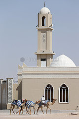 Dubai  Vereinigte Arabische Emirate  Mann reitet mit seinen Kamelen an einer Moschee vorbei