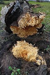 Berlin  Deutschland  Baum ist wegen Pilzbefall umgefallen