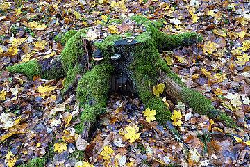 Braenna  Schweden  Mit Moos bewachsener Baumstumpf