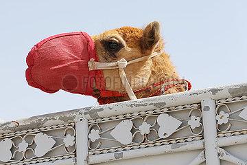 Dubai  Vereinigte Arabische Emirate  Kamel traegt einen Maulkorb