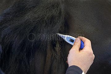 Wardow  Detailaufnahme  Fiebermessen bei einem Pferd