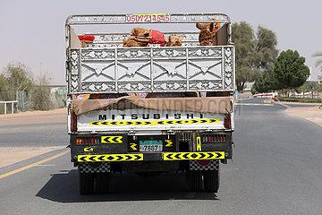 Dubai  Vereinigte Arabische Emirate  Kamele auf einem offenen LKW