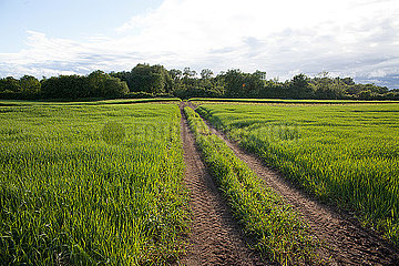tractor track through the middle of a green grass field with forest