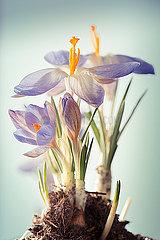 Krokusblüte mit Zwiebel  Wurzeln und Erde