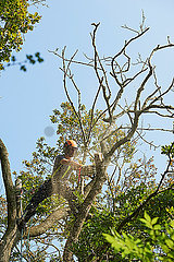 Male tree surgeon in tree top sawing tree branch using chainsaw  low angle view