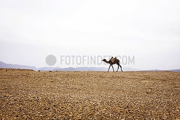 Iran  einsames Kamel in der Steinwüste | Iran  lonely camel in the stone desert