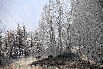 CHINA-GANSU-Qilian Shan Waldschutz (CN)