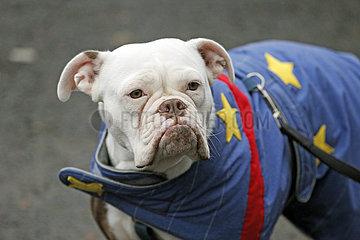Dresden  Deutschland  Englische Bulldogge schaut grimmig