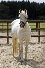 Bruemmerhof  Pony traegt als Sonnenschutz einen Lappen auf dem Maul