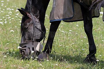 Bruemmerhof  Pferd grast mit einen Maulkorb