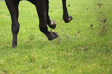 Dresden  Deutschland  Gewicht eines Pferdes liegt im Galopp auf einem Vorderbein