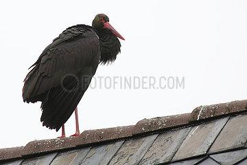 Rathen  Deutschland  Schwarzstorch auf einem Dach